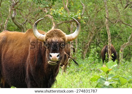 A wild gaur in Indian Safari. Gaur is a large bovine native to South Asia and Southeast Asia. - stock photo
