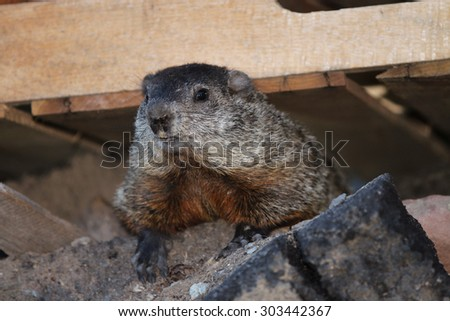 Whistlepig Stock Photos, Images, & Pictures | Shutterstock  Whistlepig Stoc...