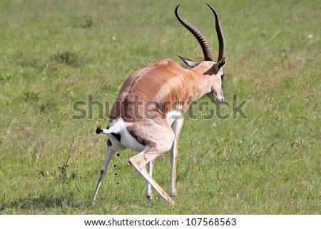 A Wild Impala (Aepyceros melampus) Stops to Defecate in the Masai Mara, Kenya, Africa. - stock photo