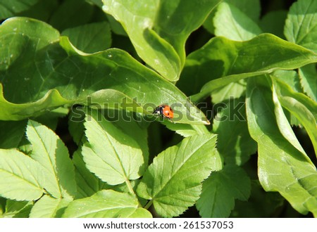 A Wild Ladybird Insect on a Green Leaf Plant. - stock photo