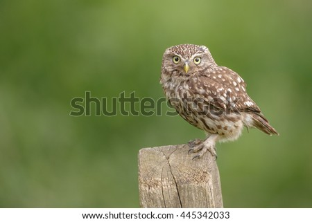 A wild little owl on English farmland - stock photo
