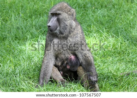 A WILD Olive Baboon (Papio anubis), also called the Anubis baboon, mother nursing (feeding with breast) her baby at Lake Nakuru, Kenya, Africa. - stock photo