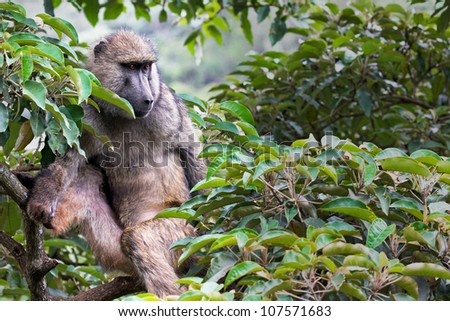 A WILD Olive Baboon (Papio anubis), also called the Anubis baboon, resting watchfully in the tree canopy in Kenya, Africa. - stock photo