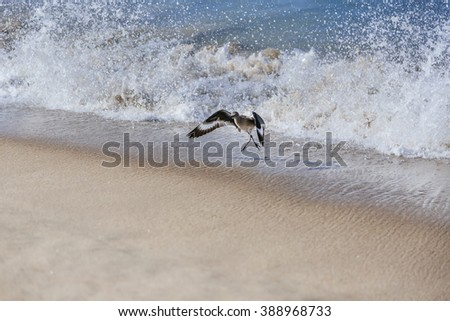 A willet bird, type of sandpiper running from ocean wave on Hermosa beach, California - stock photo