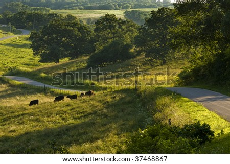 A winding country road with Angus cattle grazing along the sides. - stock photo