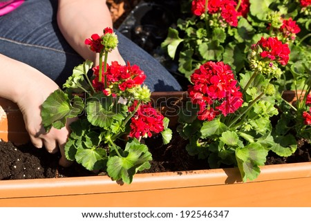 A window box is planted with geraniums - stock photo