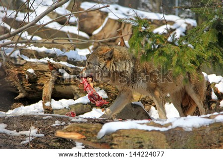A Wolf holds a piece of meat in the mouth - stock photo