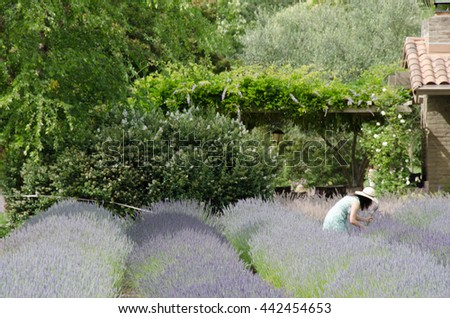 A Woman Cutting Her Own Lavenders - stock photo