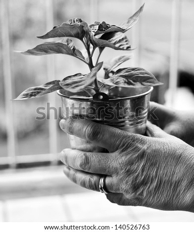 A woman is holding a little plant of Habanero, one of the hottest chili pepper in the world. black and white conversion - stock photo