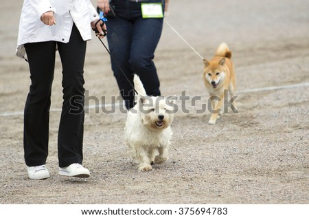 A woman is training and teaching the dog on a sandy field. A dog show is going on. The dog breed is a west highland terrier. - stock photo