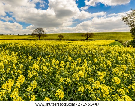 A wonderful view over the rapeseed fields in blossom in early spring time on the Chiltern Hills in Buckinghamshire England.Displaying their lovely yellow contrasting with the blue of the sky. - stock photo