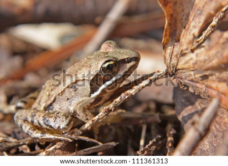 A Wood Frog (Rana sylvatica) on the floor of the forest. - stock photo