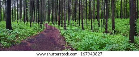 A woodland trail leads visitors through the Spruce Plot at The Morton Arboretum, Lisle, Illinois. - stock photo
