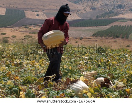 A worker in ISRAEL picking pumpkins - stock photo
