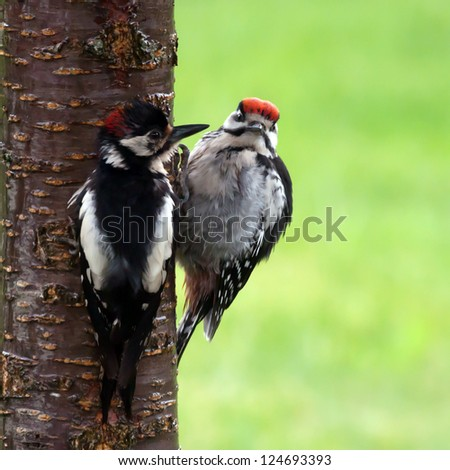 A worn woodpecker feeding his well fattened son on the cherry tree trunk with a nice green de-focused background - stock photo