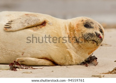 A wounded common seal is resting on the beach - stock photo