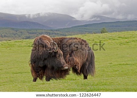 A Yak on a Green Meadow - stock photo