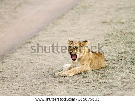 A yawning baby lion - stock photo
