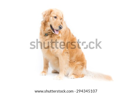 a 2 year old purebread golden retriever sits on a white background and looks right with mouth open and tongue hanging out  - stock photo