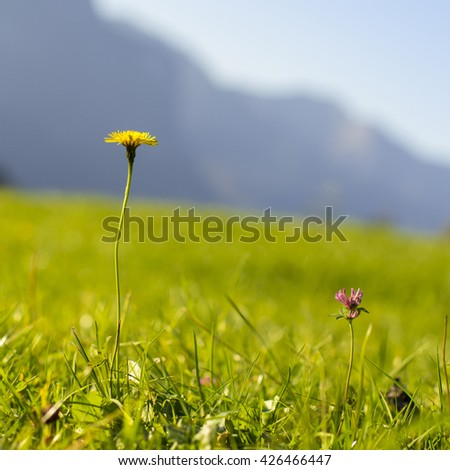 A yellow and a pink flower on a green meadow in the Alps, in the background the mountains - idyll! - stock photo