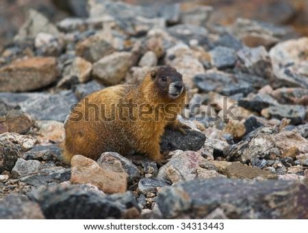 A yellow bellied Mormot in Rocky mountain national Park, Colorado - stock photo