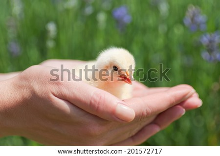 A Yellow chicken in the woman�´s hand - stock photo