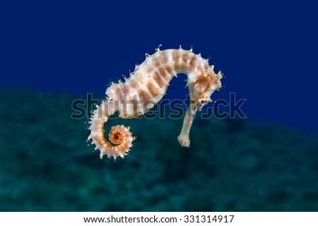 A Yellow Female Common Seahorse (Hippocampus Taeniopterus) on the ocean bottom.  Underwater Photo. - stock photo