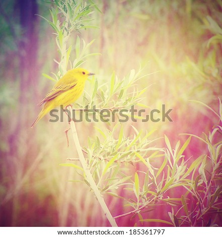 a yellow goldfinch on a branch done with a retro vintage instagram filter  - stock photo