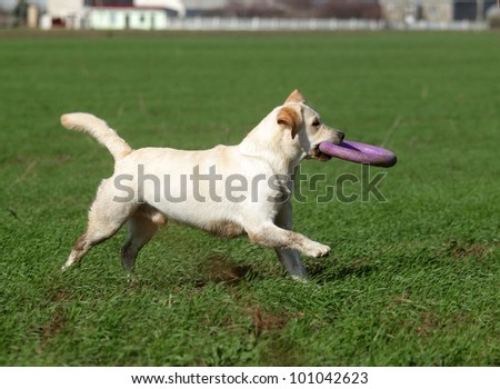 A yellow labrador playing with a toy in the field in summer - stock photo