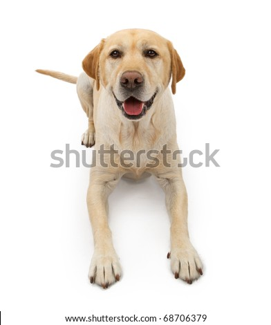 A yellow Labrador retriever dog with a happy face laying down and isolated on white - stock photo