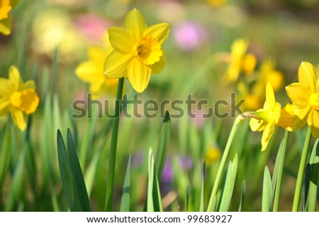 A yellow narcissus flowers and green leaves - stock photo
