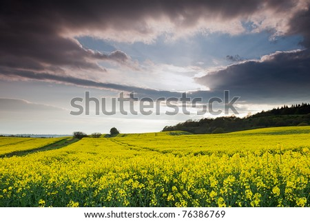 A yellow rapeseed field under a cloudy sky. - stock photo