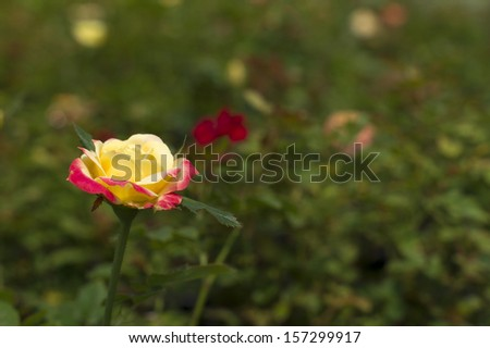 A yellow red rose in the garden - stock photo