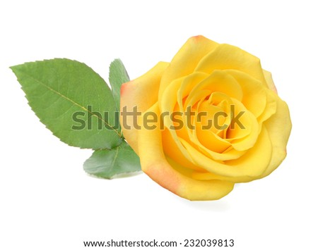 A yellow rose day  - stock photo