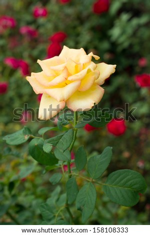 A yellow rose with its leaves on the red dots blackground - stock photo