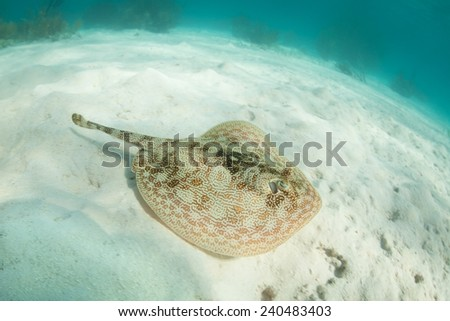 A Yellow stingray (Urobatis jamaicensis) lays on a sandy seafloor off the coast of Belize. This small bottom-dweller can change the tonality of its coloration to improve its camouflage. - stock photo