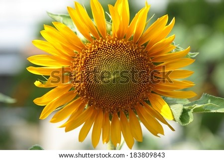 A yellow sunflower stands alone with a blurry background. - stock photo