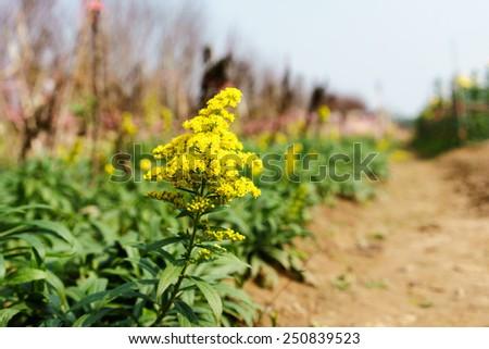 A yellow wild flower - stock photo