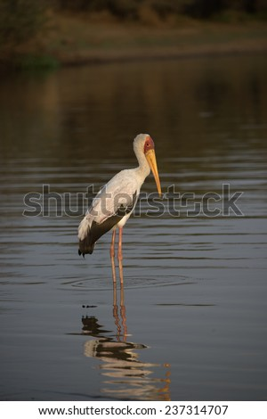 A Yellowbilled Stork at the waterhole in the evening - stock photo