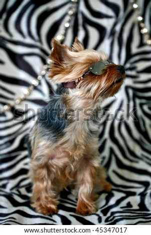 a yorkshire terrier in a cool pose wearing sunglasses against a fashionable zebra skin backdrop - stock photo