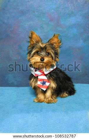 A Yorkshire Terrier puppy sits sporting a red, white, and blue patriotic tie. - stock photo