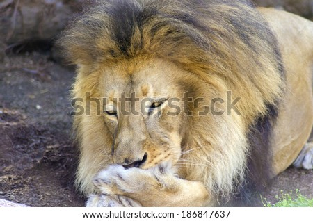 A young adult male lion lying on its belly cleaning its paw by licking it with its tongue. The male panthera leo has a long yellow, black mane and is called king of the jungle. - stock photo