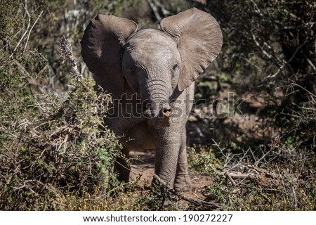 A young African bush elephant (Loxodonta africana) explores Addo Elephant Park, South Africa. African elephants are arranged in family units made up of related females, their calves, and a matriarch. - stock photo