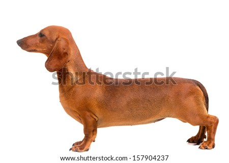 A young and beautiful teckel puppy, isolated over white background - stock photo