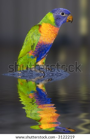 A young Australian Rainbow Lorikeet with water surface reflection. - stock photo