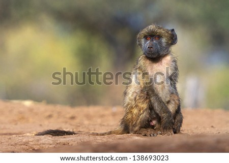 A young baboon looks pensive - stock photo