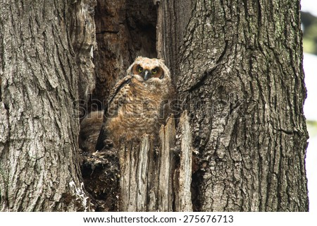 A young baby Great Horned Owl sitting in an old tree looking right at you - stock photo