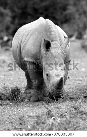 A young baby white rhino / rhinoceros walking in a game reserve in South Africa - stock photo