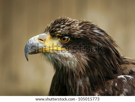 A young Bald eagle portrait - stock photo