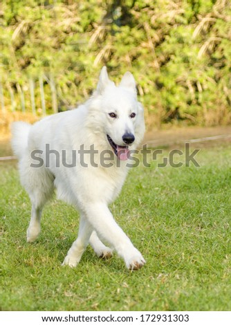 A young beautiful Berger Blanc Suisse dog walking on the grass. The White Swiss Shepherd dog looks like a German Shepherd, distinctive for its long white coat and for being intelligent and courageous. - stock photo